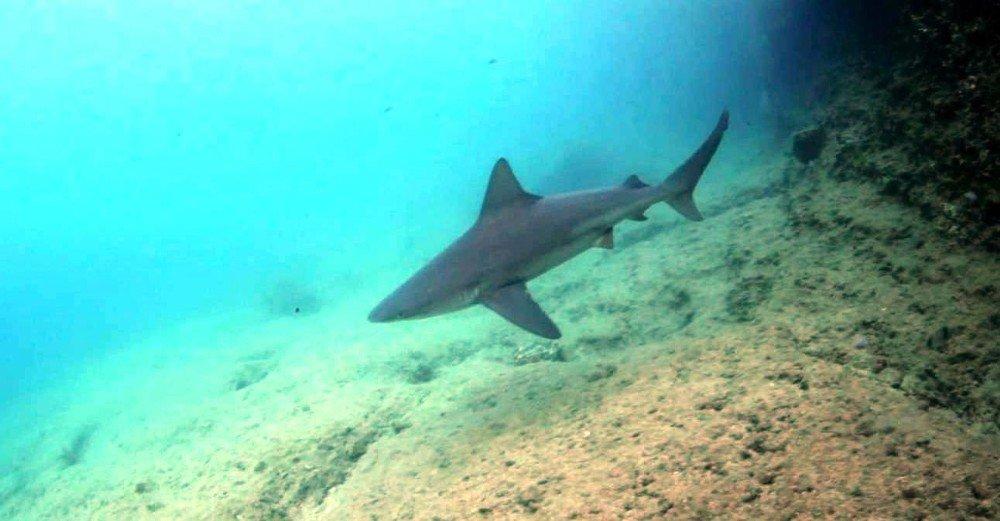 MSKÜ Su Ürünleri Fakültesi Dekanından köpek balığı açıklaması
