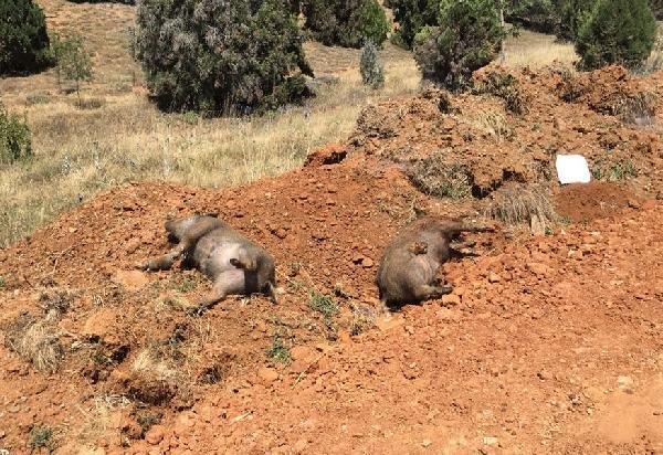 Konya'da 5 domuz ölüsü bulundu