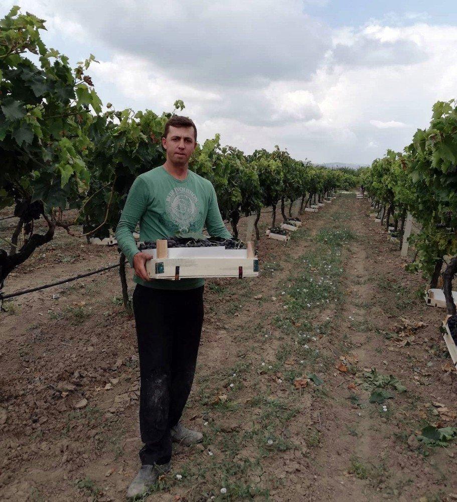 Yılın ilk üzüm hasadı Sakarya'da başladı
