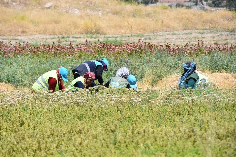 Kocasinan'da tıbbi ve aromatik bitkilerin hasadı başladı