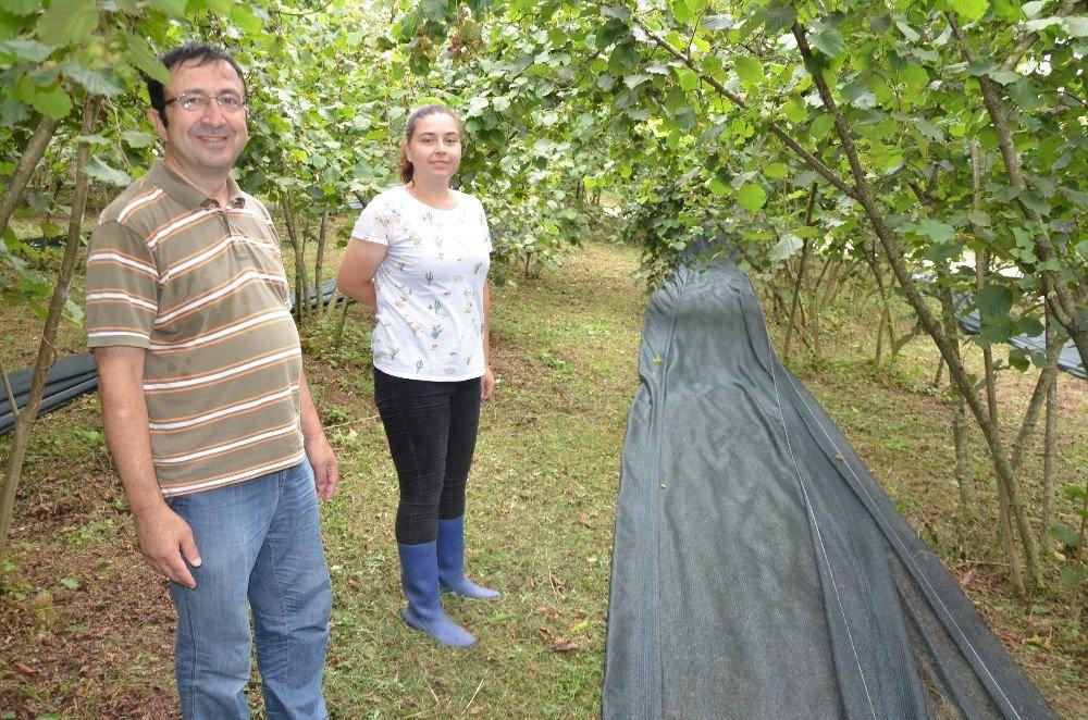 Fındık hasadında örtü kullanımı uygulaması Fatsa'da gerçekleşti