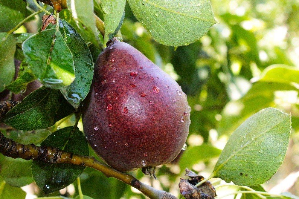 Kaybolmaya yüz tutmuş meyveler koruma altına alındı