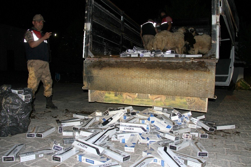 Koyun yüklü kamyonette 6 bin 760 paket kaçak sigara ele geçirildi