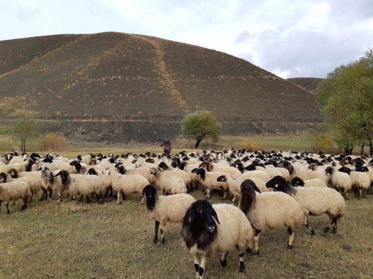 Norduz koyunu yetiştiricilerine destek