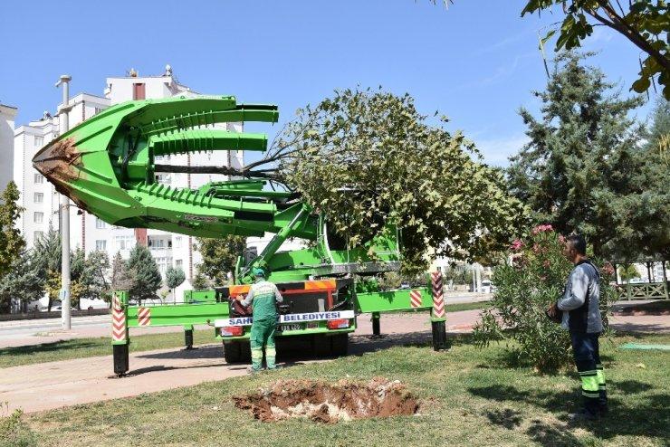 Şahinbey'de ağaçlar kesilmeden taşınıyor