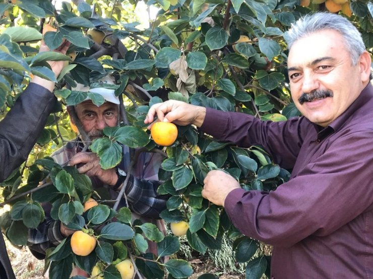 Karaman'da cennet hurması hasadı başladı