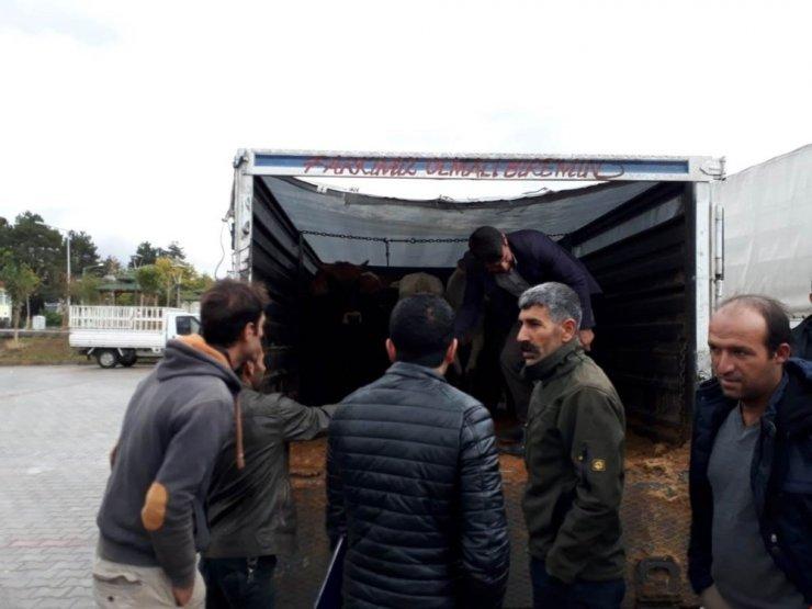 Genç çiftçilere büyükbaş hayvan dağıtımı