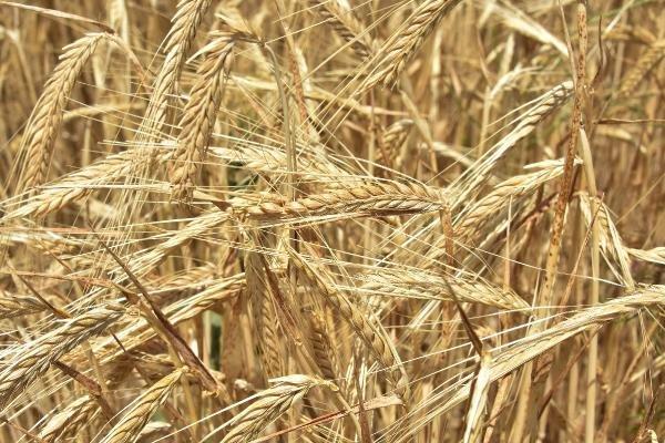 Buğday ambarı Konya Ovası, arpa ambarı olma yolunda ilerliyor