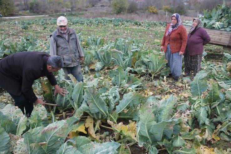 Bilecik'te karnabahar hasadı başlandı