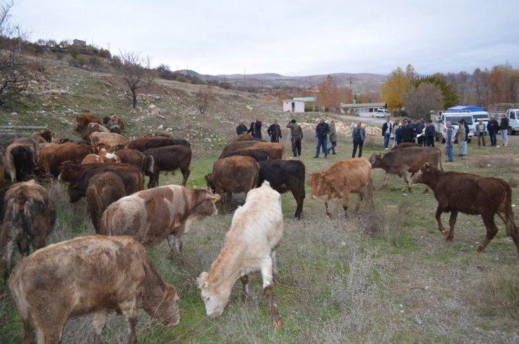 Çemişgezek'te genç çiftçilere 60 adet büyükbaş hayvan verildi