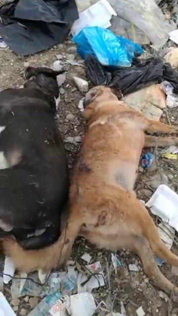 Ayakları Bağlı Halde Ölmüş İki Köpek Bulundu ile ilgili görsel sonucu