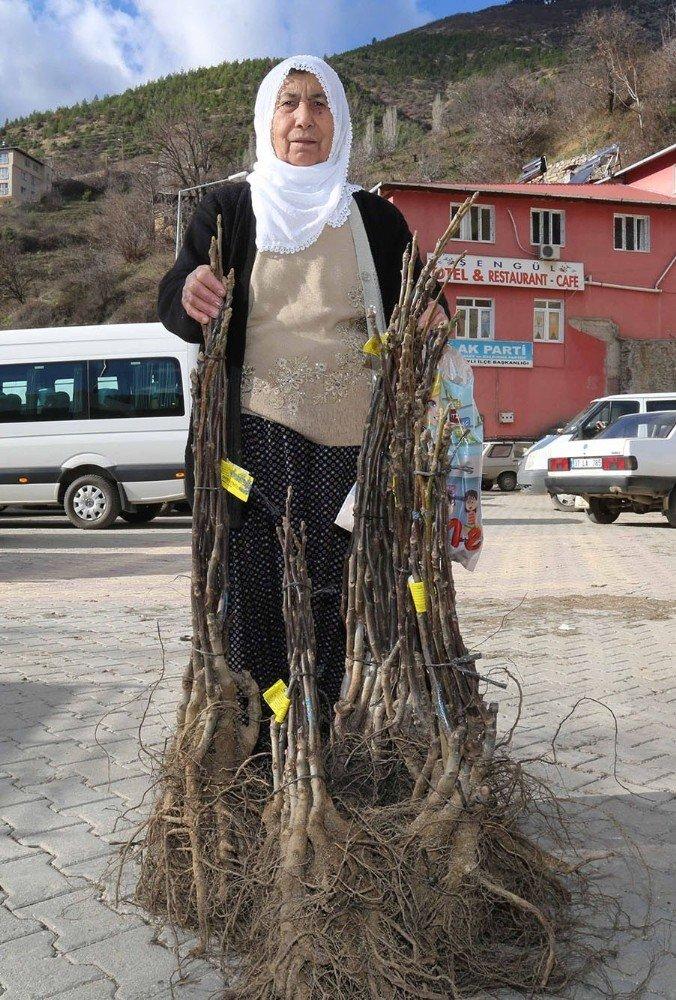Köylüye 60 bin adet ceviz fidanı
