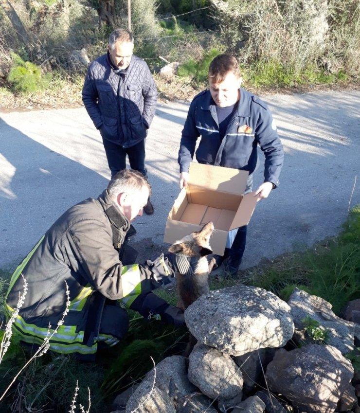 Bodrum'da tilki kurtarma operasyonu