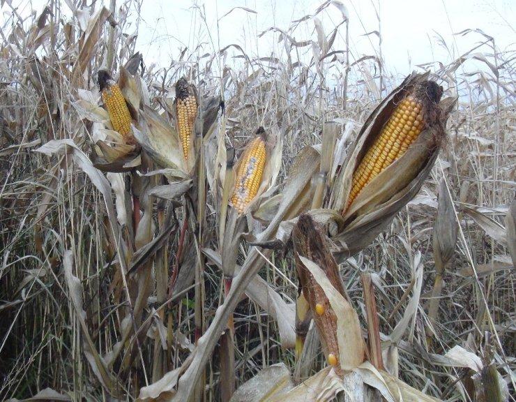 Kızıltepe'de mısır tarlada kaldı