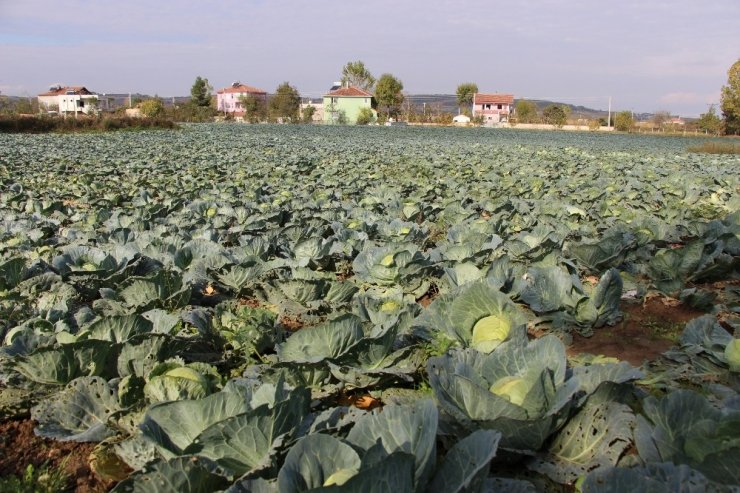 Samsun tarımsal üretimde Türkiye'nin ilk sıralarında