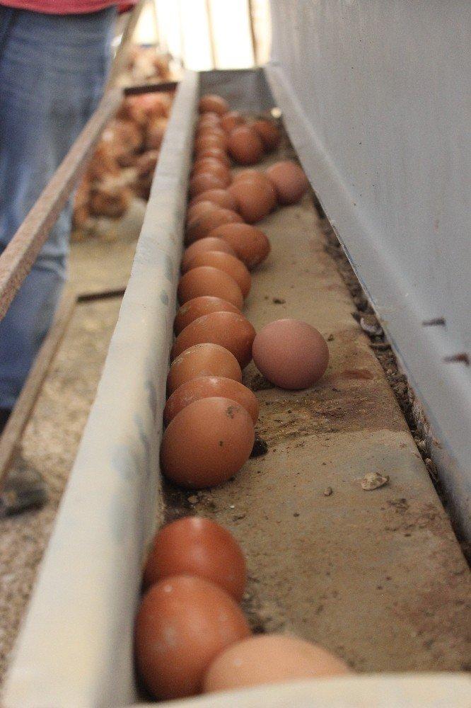 Tavuklar Müslüm Babayla kavgayı bıraktı, yumurtlamaya başladı