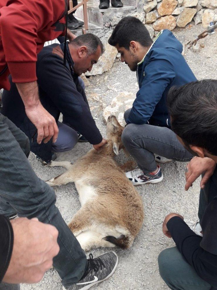 Yaralı yaban keçisi yavrusu, botla Fırat Nehrinden karşıya geçirilerek tedavi edildi
