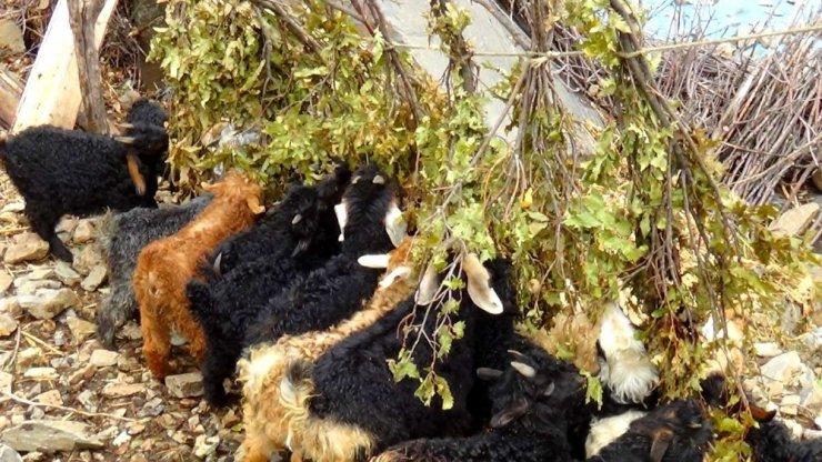 Hakkarili besiciler oğlakları meşe dallarıyla besliyor