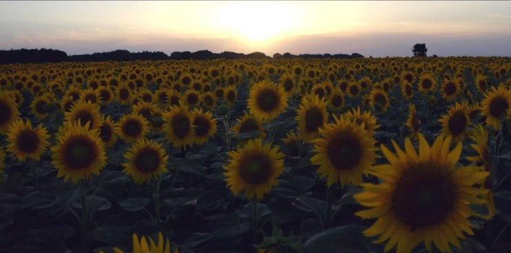 Ay çiçeği tarlalarında gün batımı manzarası havadan görüntülendi
