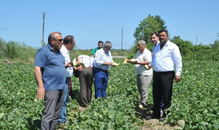 Bafra Ovası'nda kavun hasadına başlandı