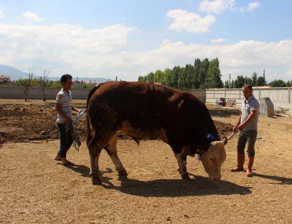 Konya'da 1 ton 300 kilogramlık 'Paşa' alıcısını bekliyor