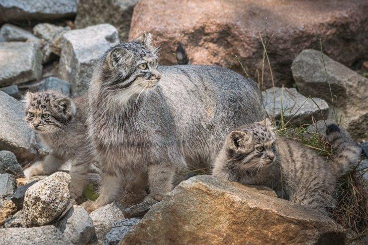 Polonya'da nesli tükenme tehlikesi bulunan 5 pallas kedisi doğdu