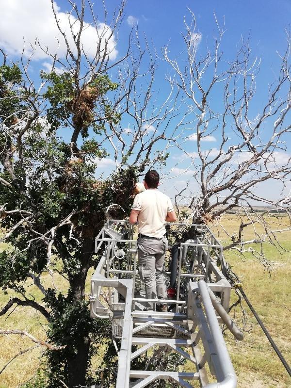 Ağaç dallarında sıkışan kızıl şahin kurtarıldı