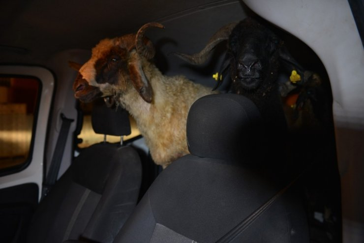 Hırsızlar polise yakalanmamak için çaldıkları koyunları bırakıp kaçtı