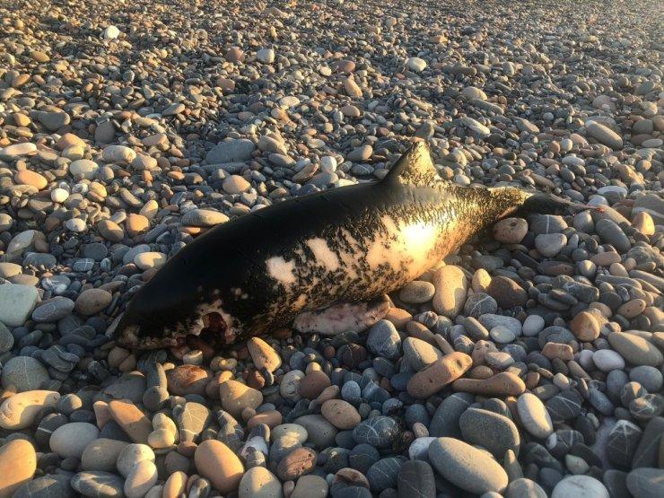 Kastamonu sahilinde ölü yunus balığı bulundu