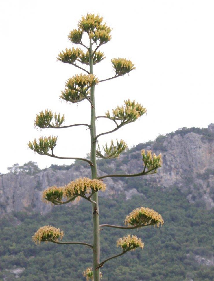 Agave bitkisi 30 yıl sonra çiçek açtı