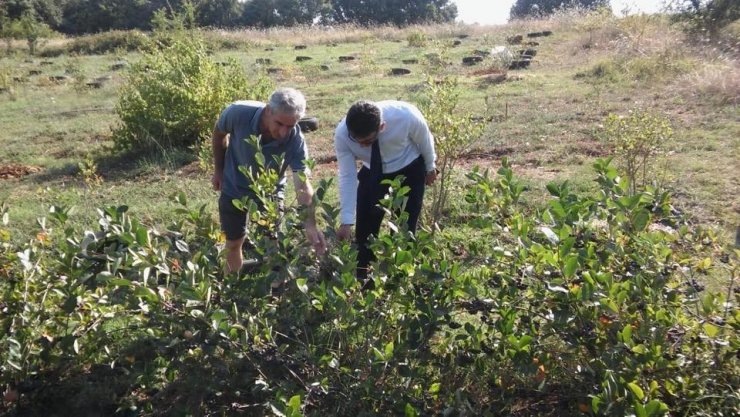 Yalova'da aronya üretimi artıyor