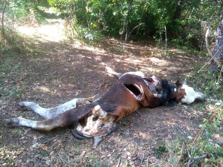 Kastamonu'da ayının saldırdığı inek telef oldu