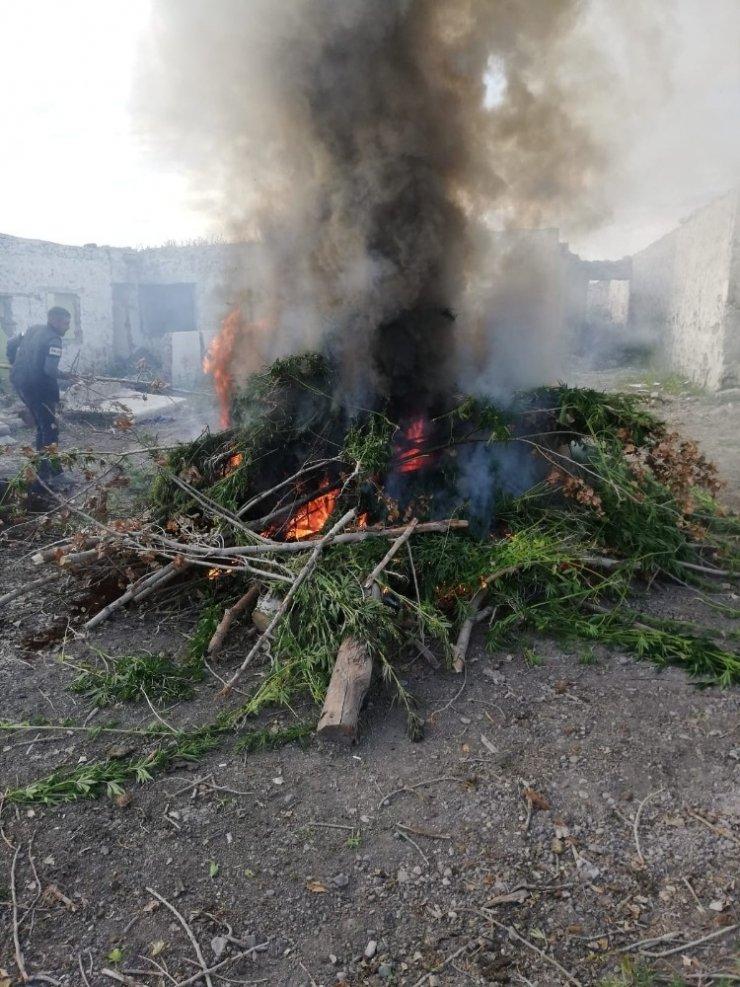 Kars'ta 17 bin kök kenevir ele geçirildi