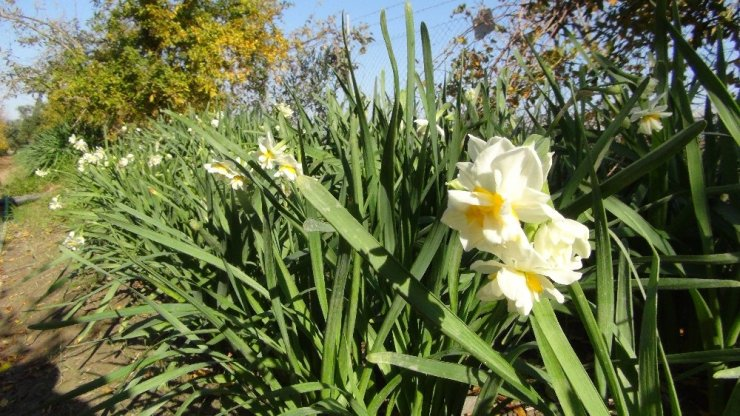 Kışta baharı yaşatan nergis çiçekleri çiftçinin gelir kapısı oldu