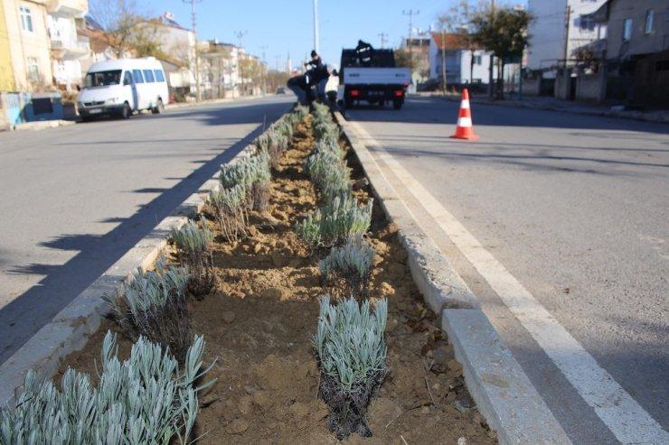 Karaman Belediyesi refüj ve kavşaklara lavanta dikti
