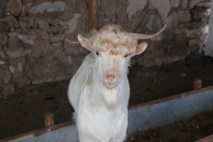 Bu keçileri görenler, kuaförden çıktıklarını düşünüyor