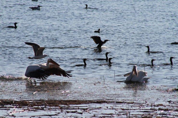Beyşehir Gölü'nde pelikanların yiyecek arayışı ilgi çekti