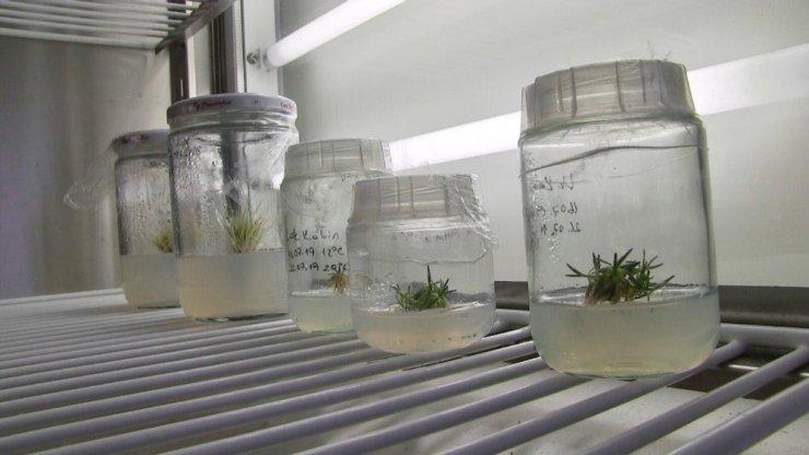 Antarktika'dan getirilen bitki türleri Niğde'de koruma altında