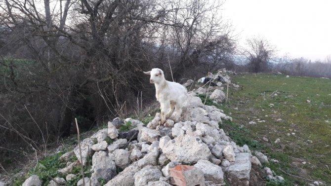 Annesi ölen keçiye köpek sahip çıktı, her gün emziriyor