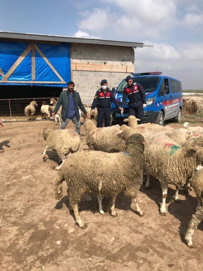 Koyun hırsızları JASAT ekiplerince yakalandı