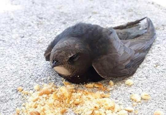 Okulun sınıfında Ebabil kuşu bulundu