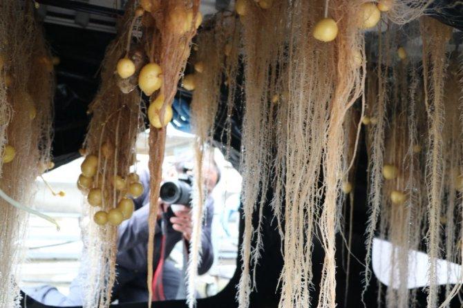 Niğde'de topraksız tarımla patatesin genetiği çıkarılıyor