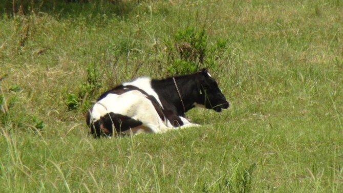 15 gündür aynı yerde bağlı olarak yaşayan dört inek mahallelinin tepkisini çekiyor