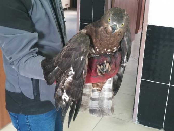 Arı Şahini ve Erguvani balıkçıl Kars'ta tedavi altına alındı