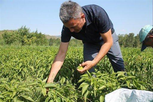 Osmanlı kamber biberi yeniden canlanıyor