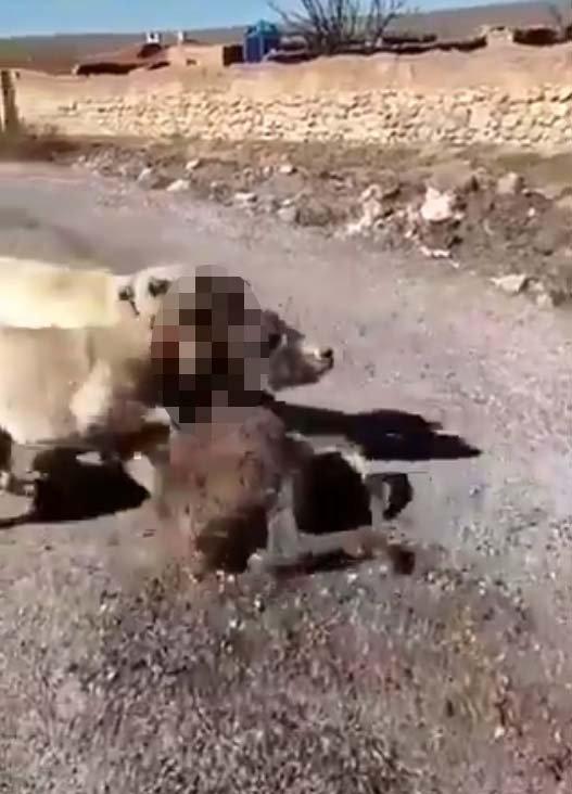 Çoban köpeklerini sıpaya saldırtan genç: