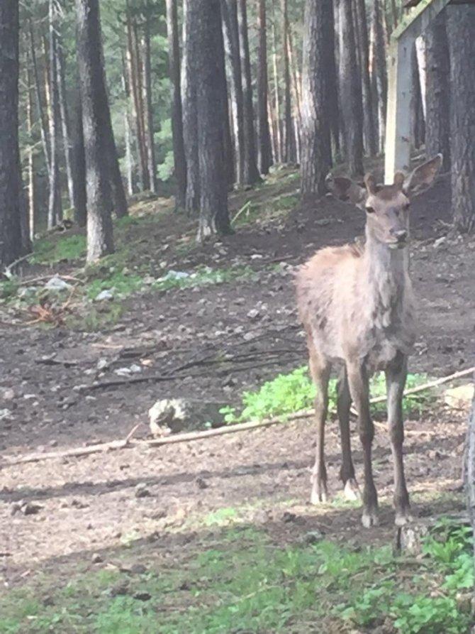 Kızıl geyiklerin güzelliği kameralara yansıdı