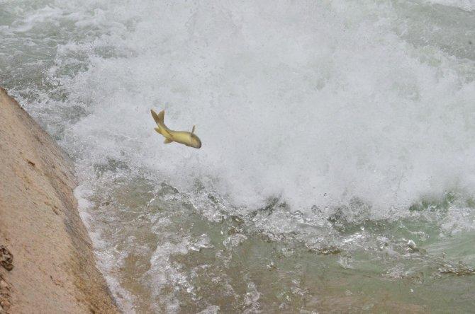 Göç yolunda akıntıya karşı yüzen balıklar, şelaleyi sıçrayarak aşıyor