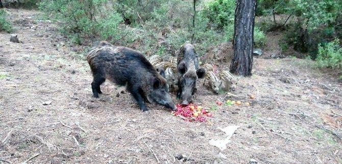 Yaban domuzlarına beslemeli önlem
