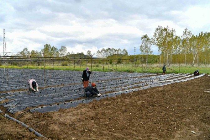 Isparta'nın Aksu ilçesinde çilek üretim hamlesi
